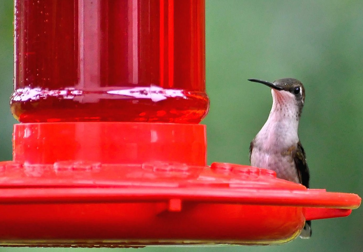 Nectar for Hummingbirds